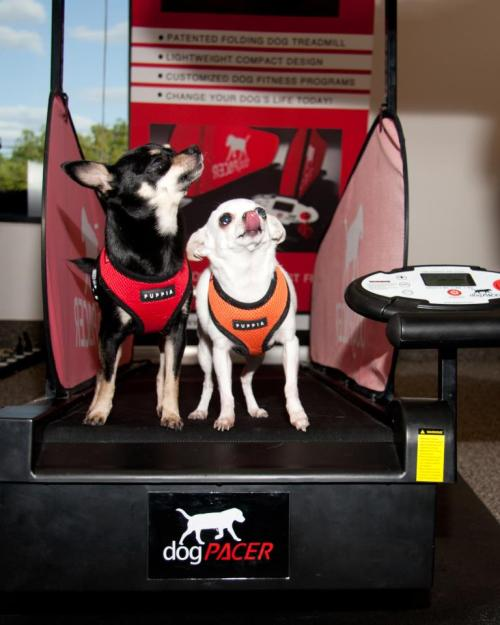 Coco & Bella Nail on the dogPACER Treadmill